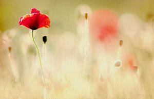 Red Poppy by samleenchoo