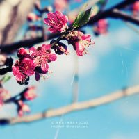blossoms by nhuthanh