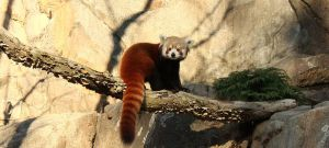Red Panda II by Emmuls