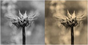 Two  Thistles In Mono by ShlomitMessica