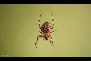 Spider by D-BH