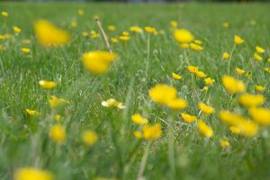 Buttercups.... Loads by aaronius