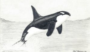 Killer Whale by TigerGod