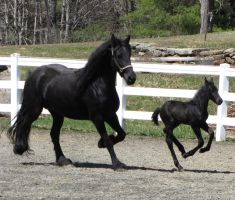 Friesian Mare and Foal IV by PhotosByMelissa