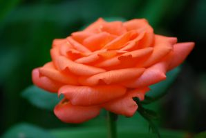 Coral Rose 1 by EyesofaDiamond