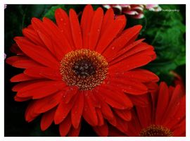 Beauty In Red by erbphotography