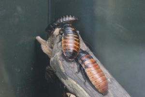 Madagascar Hissing Cockroaches by Frostdragon64