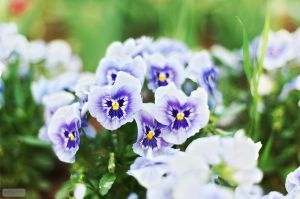 Scent of spring - wp size by chirilas