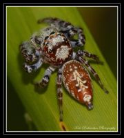 Jumping spider 1 by Purple-Dragonfly-Art