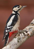 Red Arsed Headbanger - Great Spotted Woodpecker by Jamie-MacArthur