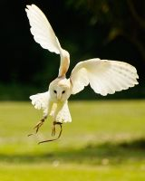 Swooping Barn Owl by Yslen