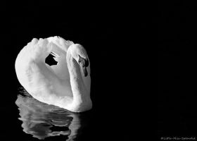 Mute Swan by Little-Miss-Splendid