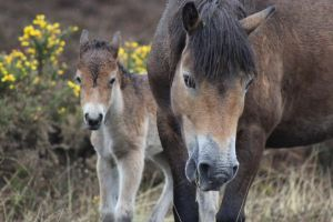 Exmoor Foal and Mother by lucky128stocks