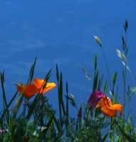 Poppies at Lake Madrone, Ca. by BrandonCWatson