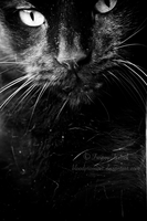 The Black Cat by TwiggyTeeluck
