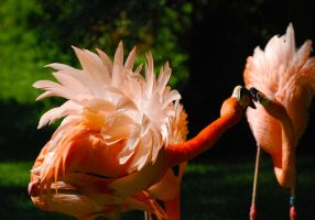 Flamingos fighting by odinemb