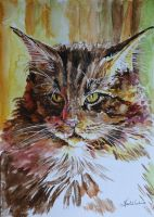 Maine coon by danuta50