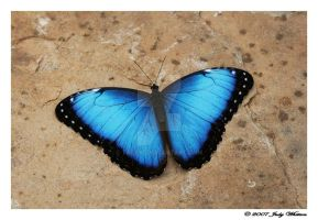Blue Morpho II by Tazzy-