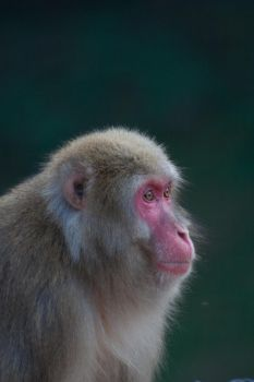Portrait of a Monkey 3 by Salgor