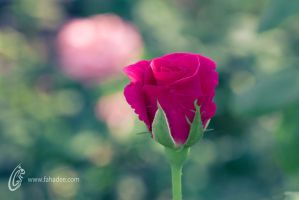 Rose Beauty by fahadee