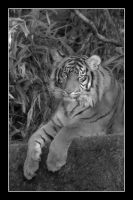 Tiger (Front Full - Black and White) by SKiNBuS