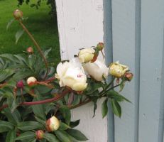 Mothers white paeonia by Kattvinge
