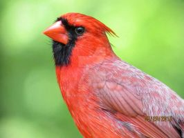 Cardinal2 by greenchew
