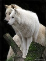 Arctic Wolf No.3 by W0LLE