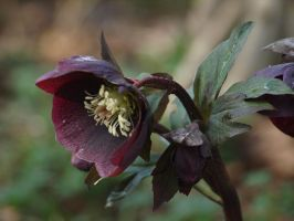Lenten Rose Stock 17 by botanystock