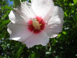 Hibiscus-Rose of Sharon by thedirestraits
