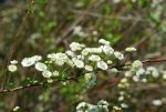 Bridal Wreath Spirea by BlueSolitaire
