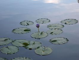 Water Lily by Rothar