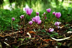 Cyclamen Under Willow by EarthHart