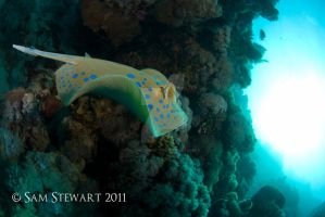Blue Spotted Ray by SamStewart1