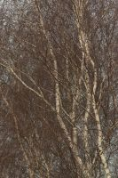 fine lace of birch branches 1 by steppelandstock