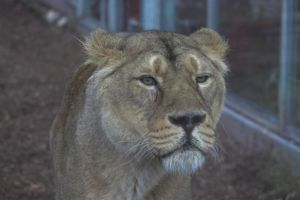 Lioness Unimpressed by syrus