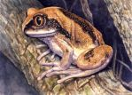 Brownbacked Tree Frog by WillemSvdMerwe
