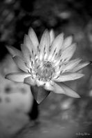 Water Lily by jot-woo