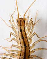 House Centipede 1 by BlackHive
