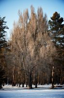 Tree FOT6145 by BenKodjak