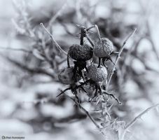 Wild Rose Hips by imonline