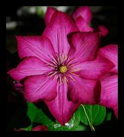 Jackman Clematis by manwithashadow