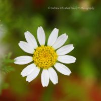 Oh Little Daisy by Hitomii
