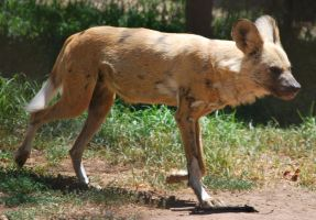African Wild Dog Stock 7 by HymnsStock