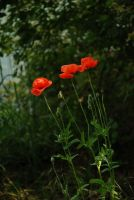 Three corn poppy stock by LimeStock