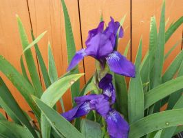 Iris by TimeCollector