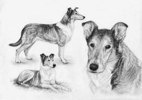 Smooth Collies by Embers