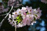 103 - Year of the Cherry Blossoms 6 by Marizelda