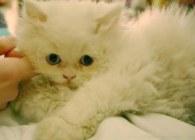 white kitten by LauzLanille
