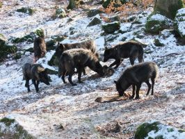 Black Wolves Searching and Eating Stock by AngelSTOCK22